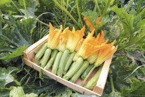 come-coltivare-zucchine-vaso2