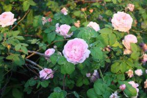roses-1719625_960_720